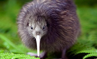 How Many Different Types Of Kiwi Are There?